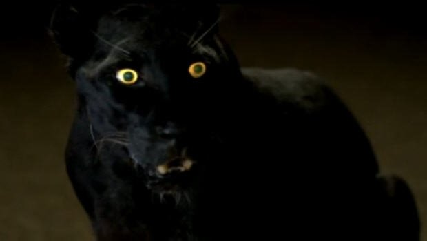 Image is from the TV Show 'True Blood'. In a dim light, a were-panther in animal form sits on the floor, it's yellow eyes glowing.